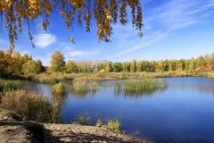 Paisaje del otoño - abedul del oro cerca de la charca Fotografía de archivo libre de regalías