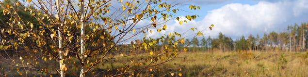 Paisaje del otoño, abedul en el fondo de prados y bosque del pino Fotos de archivo libres de regalías
