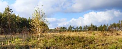 Paisaje del otoño, abedul en el fondo de prados y bosque del pino Fotos de archivo