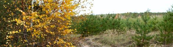 Paisaje del otoño, abedul en el fondo del camino y un bosque joven del pino Fotografía de archivo libre de regalías