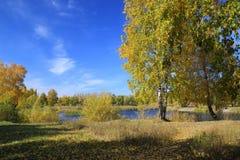 Paisaje del otoño - abedules del oro en el parque Imágenes de archivo libres de regalías