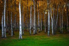 Paisaje del otoño, bosque denso del abedul, natural Fotos de archivo