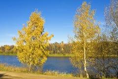 Paisaje del otoño con dos árboles de abedul amarillo Foto de archivo libre de regalías