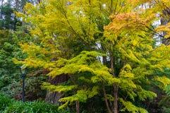 Paisaje del otoño con el árbol de arce Imágenes de archivo libres de regalías