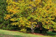 Paisaje del otoño con el árbol de arce Fotografía de archivo libre de regalías