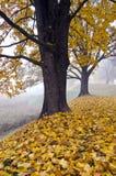 Paisaje del otoño con el árbol y la niebla de arce Imagenes de archivo