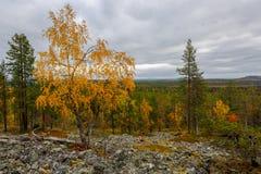 Paisaje del otoño con el abedul amarillo en Laponia, Finlandia Imágenes de archivo libres de regalías