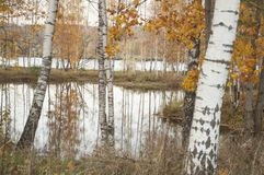 Paisaje del otoño con la reflexión de los árboles de abedul en el agua Imagen de archivo libre de regalías