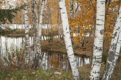 Paisaje del otoño con la reflexión en el agua de los troncos del abedul Fotos de archivo libres de regalías