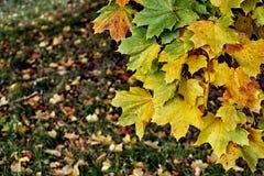 Paisaje del otoño con las hojas de arce multicoloras que crecen en el árbol Fotos de archivo