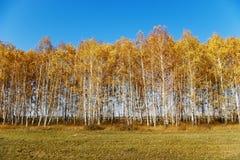 Paisaje del otoño con los abedules Fotografía de archivo
