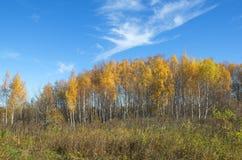 Paisaje del otoño con los abedules Imagen de archivo libre de regalías