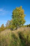 Paisaje del otoño con los abedules Foto de archivo libre de regalías