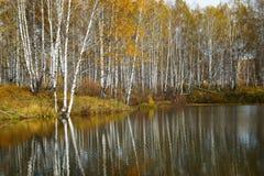 Paisaje del otoño con los abedules amarillos en la charca Imagen de archivo libre de regalías