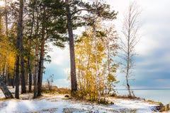 Paisaje del otoño con los abedules amarillos y la nieve Siberia, los coas Fotografía de archivo