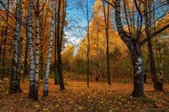 Paisaje del otoño con los abedules de plata Foto de archivo libre de regalías