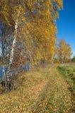 Paisaje del otoño con los abedules por el río Fotos de archivo
