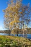 Paisaje del otoño con los abedules por el río Fotografía de archivo libre de regalías