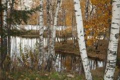 Paisaje del otoño con los troncos del abedul y las hojas del amarillo Fotografía de archivo
