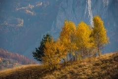 Paisaje del otoño de la montaña con los árboles de abedul amarillo Foto de archivo