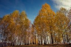 Paisaje del otoño de la montaña con los árboles de abedul amarillo Fotografía de archivo libre de regalías