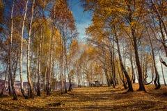 Paisaje del otoño de la montaña con los árboles de abedul amarillo Imágenes de archivo libres de regalías