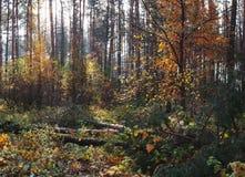 Paisaje del otoño en bosque del pino Fotografía de archivo libre de regalías