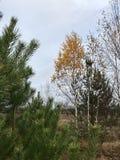 Paisaje del otoño en los abetos del Forest Green y los abedules amarilleados con las hojas caidas Fotos de archivo libres de regalías