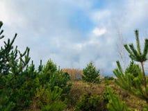Paisaje del otoño en los abetos del Forest Green y los abedules amarilleados con las hojas caidas Fotografía de archivo