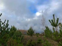 Paisaje del otoño en los abetos del Forest Green y los abedules amarilleados con las hojas caidas Imagen de archivo