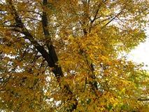 Paisaje del otoño, parque del otoño adentro con los árboles de oro del otoño en tiempo soleado Imagen de archivo