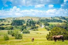 Paisaje del país con una vaca roja y un toro marrón que miran derecho en la cámara de un pasto verde enorme de la hierba fotos de archivo libres de regalías