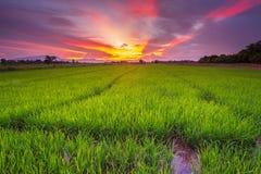 Paisaje del panorama del campo del arroz y de la puesta del sol hermosa del cielo imagen de archivo libre de regalías