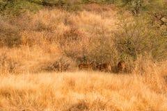 Paisaje del parque nacional de Ranthambore, la India Fotos de archivo libres de regalías