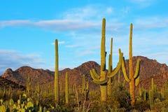 Paisaje del parque nacional de Saguaro imagenes de archivo
