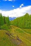 Paisaje del pino Fotografía de archivo libre de regalías