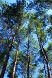 Paisaje del pino Imagen de archivo