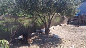 Paisaje del pueblo con los pollos y el perro blanco Fotos de archivo libres de regalías