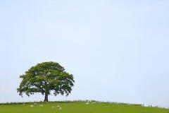 Paisaje del árbol de roble Fotografía de archivo libre de regalías