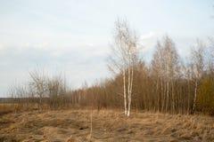 Paisaje del resorte Árboles de abedul jovenes cerca del bosque Foto de archivo