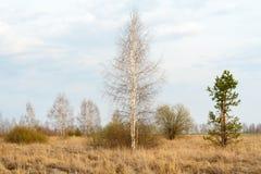 Paisaje del resorte Abedul y pino jovenes Imagen de archivo