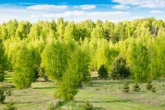 Paisaje del resorte Bosque con follaje verde claro joven en los árboles contra el cielo azul y el sol brillante Fotos de archivo