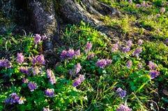 Paisaje del resorte Las flores de color de malva del halleri del Corydalis en primavera florecen debajo del árbol Fotografía de archivo