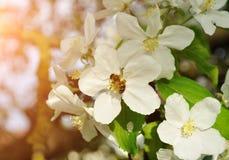 Paisaje del resorte Manzano con la abeja que recoge el néctar de una flor Imagen de archivo libre de regalías