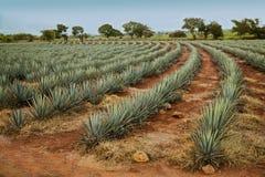 Paisaje del Tequila Imagen de archivo libre de regalías