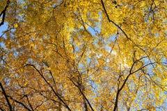 Paisaje del tiempo del otoño Hojas del abedul en el cielo azul Paisaje Imágenes de archivo libres de regalías