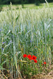 Paisaje del trigo con la amapola Fotografía de archivo libre de regalías