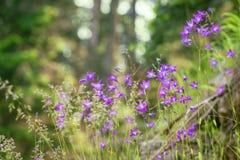 Paisaje del verano, campanas florecientes en la hierba, luz del sol Fotografía de archivo