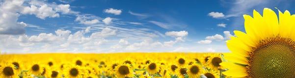 Paisaje del verano del campo de oro del girasol Foto de archivo libre de regalías