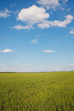 Paisaje del verano. campo de trigo Imágenes de archivo libres de regalías